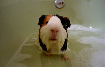 cara memandikan Hamster