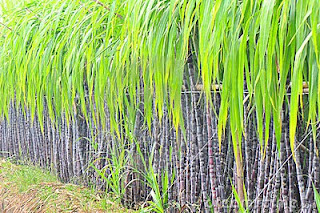 15 Benefits of Black Sugar Cane for Health - Healthy T1ps