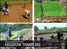 Kendala atau masalah SRI (System of Rice Intensification) bagi petani