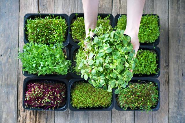 Lợi ích của rau non (microgreens)