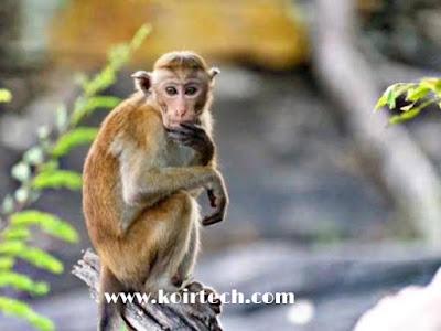 Monkey - www.koirtech.com