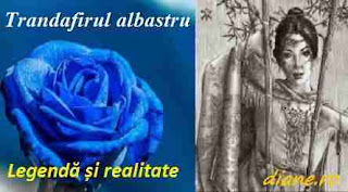 Trandafirul albastru: Simbol, legendă și realitate