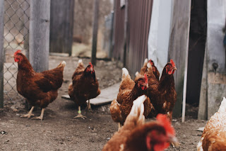hot business idea - poultry farming
