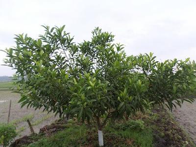 Cara merawat pohon jenitri agar cepat berbuah hanya 2 Tahun