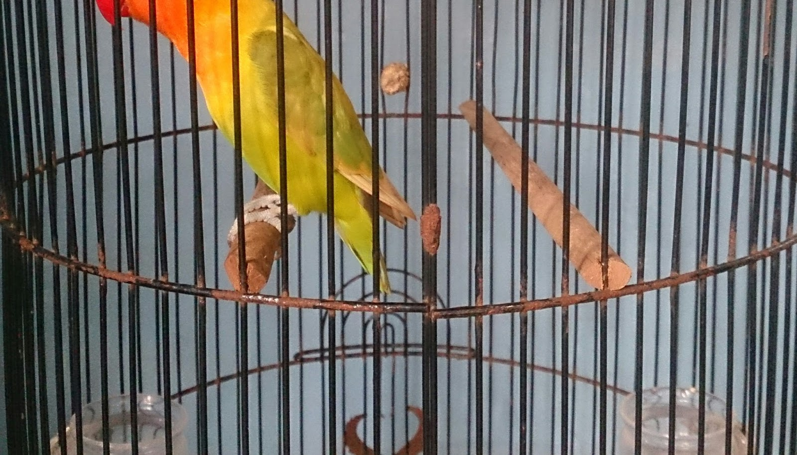 700+ Foto Gambar Burung Lovebird Paruh Putih  Terbaik