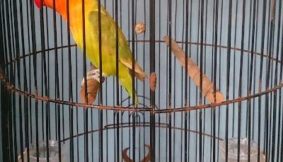 alasan dua tangkringan bagian atas pada sangkar burung lovebird