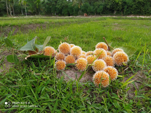 කොරෝනද නෑ නෑ මේ සුන්දර බක්මී මල් 🌼🌼 (Bakmee Flower) - Your Choice Way