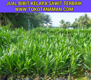 bibit-sawit-berkualitas-ppks.jpg
