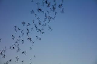 Bats flying across the night sky, Round Rock, Texas
