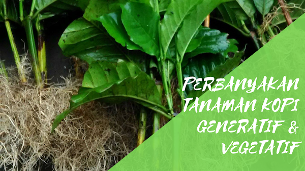 Perbanyakan Tanaman Kopi Secara Generatif dan Vegetatif