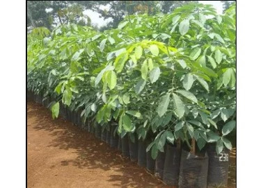 How to Complete Cultivation of Rubber Plants