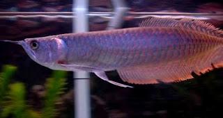 Tips mengobati ikan arwana yang terkena penyakit