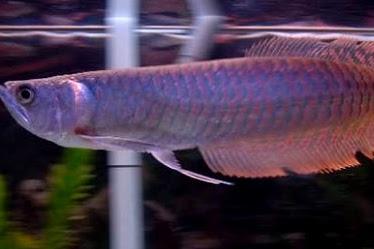 7 Penyakit Ikan Arwana dan Bagaimana Cara Mengobatinya