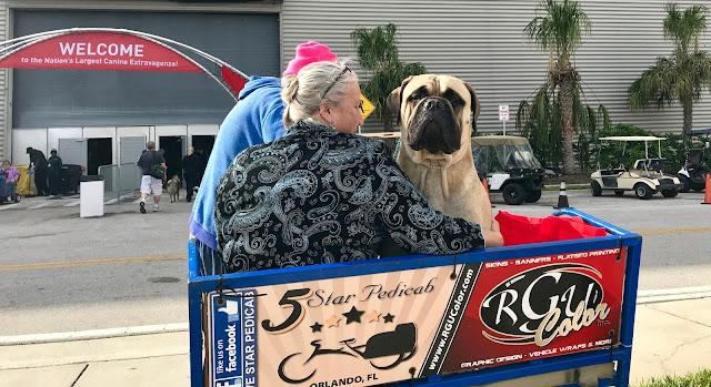 Bull Mastiff show dog #AKCDogShow #TheBigDogShow #RoyalCaninDogs