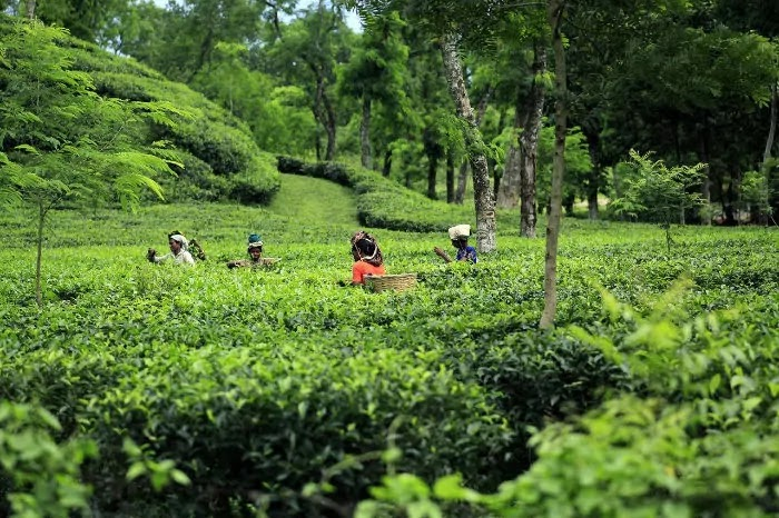 tea garden, munnar, Best Places for Honeymoon in India