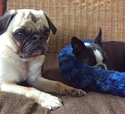Liam the pug and Sinead the Boston terrier look tired