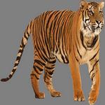 tiger in spanish