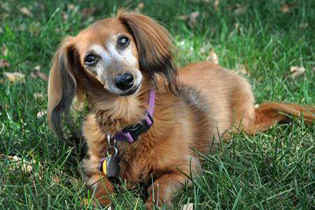 Cute Wallpapers Of Dogs And Puppies Cute Puppy Dogs Brown Dachshund Puppy