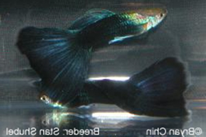 Guppy Hitam (Black Guppy)