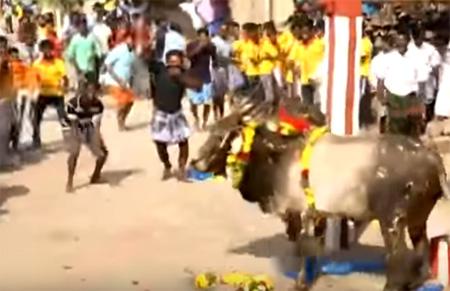 Jallikattu held on 'Mattu Pongal' in Anaiyur, Madurai despite ban