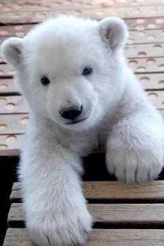 Imagenes Osos Osos Imagenes Fotografias Oso Polar Bebe 12 8 17