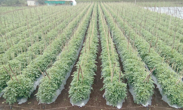 Tomatoes Photo Gallery - Sayyad Farm