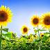 سورج مکھی کا پھول سورج کا پیچھا کیوں کرتا ہے؟