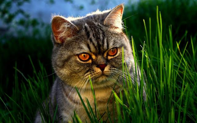 Peke-Faced Cats