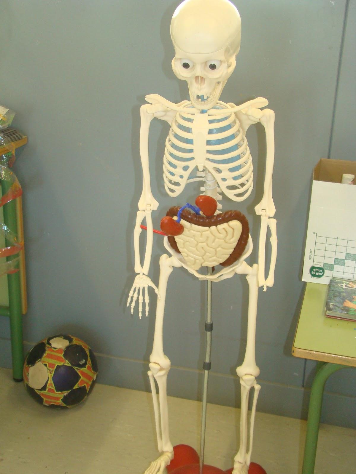 Els nostres moments a l\'aula d\'infantil: Los órganos internos