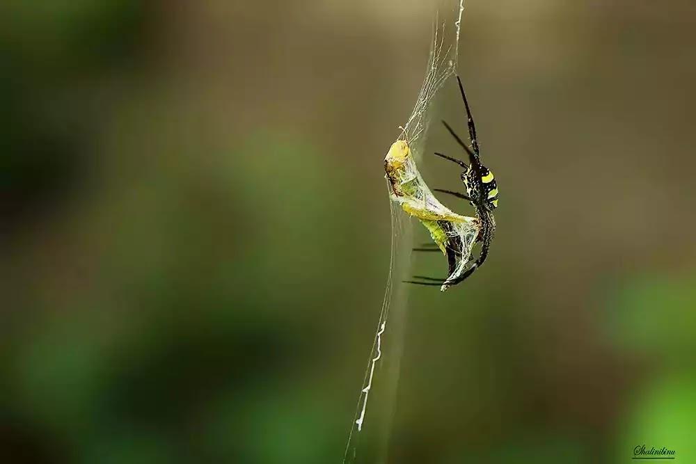 Signature spider vs Common green grasshopper