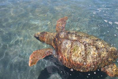 Meeresschildkröte Fuerteventura