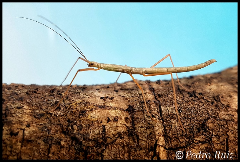 "Ninfa macho L3 de Lamachodes sp. ""Nui Chua"", 3,5 cm de longitud"