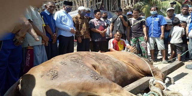 Ketika Seekor Sapi Milik Ketua DPRD Palembang Bikin Panitia Kurban Kewalahan