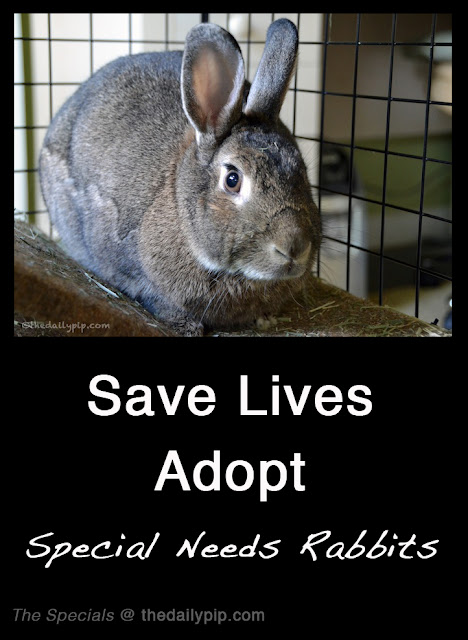 bunny adoption, adopt rabbits