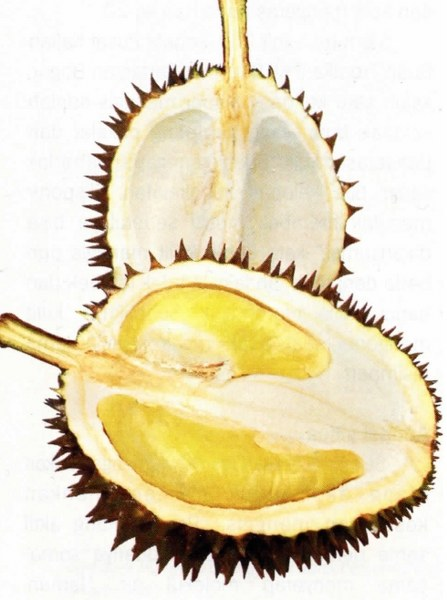 Durian Dugol Varietas Durian Unggulan Dari Kota Blitar