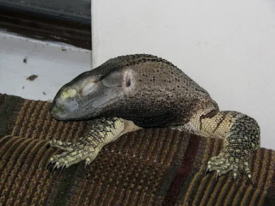 Black Throat Monitor Lizard Care, Size, Housing, Diet