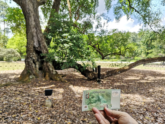 The 5-Dollar Tembusu Tree