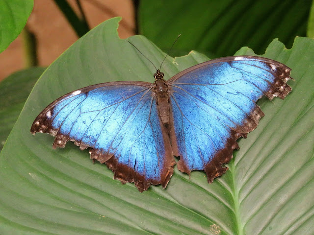 Costa Rica Itinerary: Morpho Butterfly