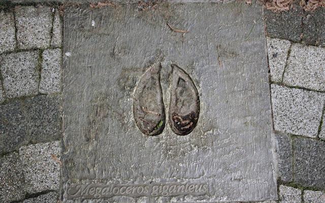 Odcisk kopyta łosia irlandzkiego
