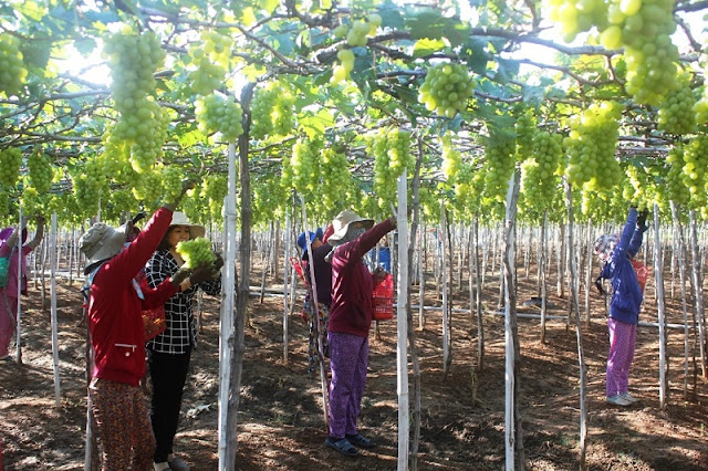 Discover Ninh Thuan vineyards in summertime 7