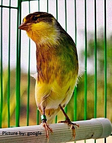 Burung kenari ialah tipe burung yang rajin berkicau alias gacor dan mempunyai ciri khas y Ini Dia Pakan Kenari Agar Cepat Gacor Ngerol