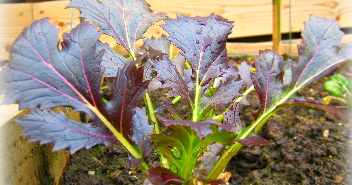 Growing Mizuna over winter | Grow Your Own Veg Blog ...