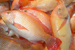 Dinas Kelautan Perikanan Dan Pertanian Kota Banda Aceh Teknik Pembesaran Ikan Nila Di Kolam Tanah