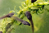 What do Tadpoles Eat : What they Eat
