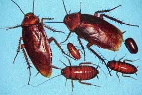 American Cockroaches Control and Information