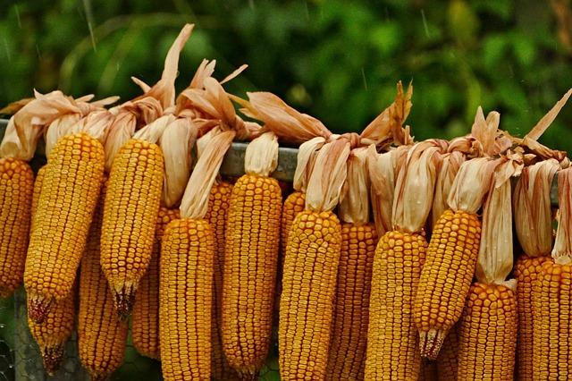 मक्का की खेती   मक्का की फसल   Makka Ki Kheti