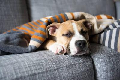 envelhecimento dos cães