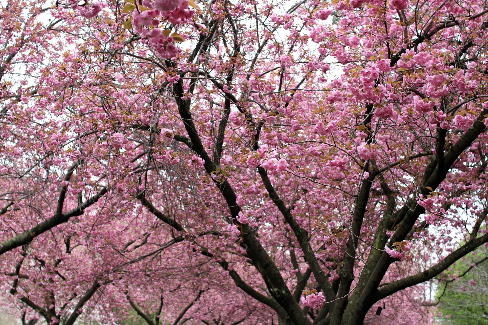 Cherry Blossoms Brooklyn Botanic Garden Modern Mollie New York City Lifestyle Blog