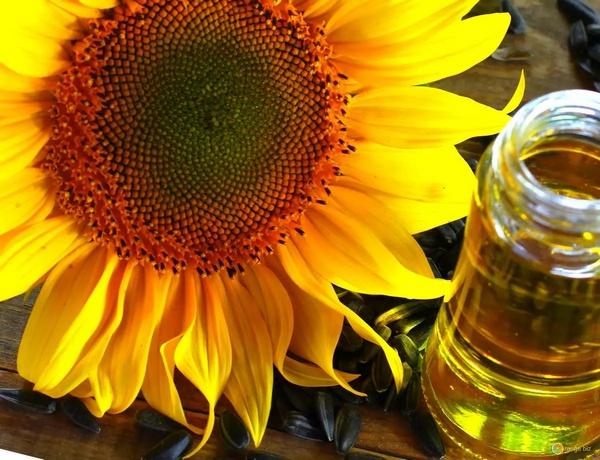 Minyak bunga matahari diperoleh dari biji bunga matahari Inilah 19 Khasiat Minyak Bunga Matahari: Untuk Kesehatan, Kecantikan, Kulit, Wajah, Rambut, dll