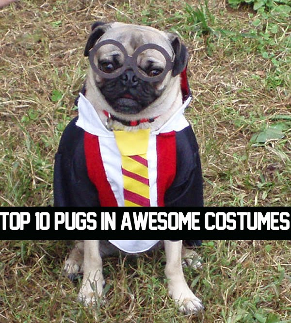 Top 10 Pugs In Awesome Costumes Buzzoga
